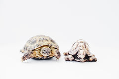 Small asian overland turtle with stone statue isolated on white. Stock Images