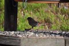 Small australian finch feeding Royalty Free Stock Photos