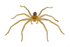 Small Australian Huntsman Stock Image
