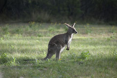Small Australian Kangaroo At Dawn Royalty Free Stock Photo