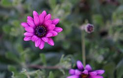 Blooming small purple flower royalty free stock photography