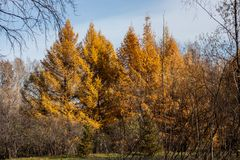 Siberian beautiful autumn forest. Small autumn forest somewhere in Siberia. Some trees and a grass Royalty Free Stock Image