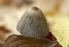 Small autumn mushroom. Stock Image
