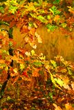 Small autumn oak tree Stock Photo