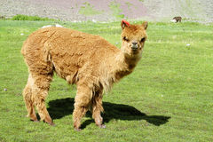 Small baby alpaca on green meadow royalty free stock photo