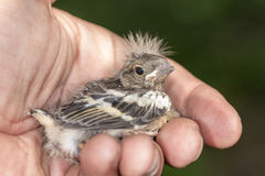 Small baby bird. Chaffinch on a palm royalty free stock photography