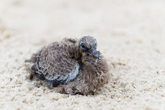 Small baby bird sits on beach sand Stock Image