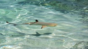 Small baby black tip shark, top view. Maldives. royalty free stock image
