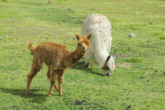 Small baby brown alpaca on green mountain meadow Royalty Free Stock Image