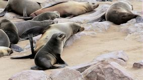 Small baby of Brown fur seal, sea lions in Namibia stock video footage
