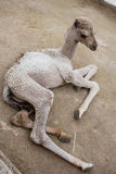 Small baby camel Stock Images