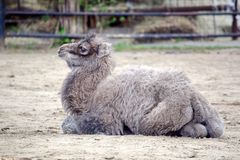 Small Baby Camel Portrait Camelus Bactrianus Resting royalty free stock photos