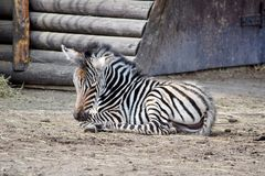 Small Baby Chapman`s Zebra Lying on Ground. Small Baby Chapman`s Zebra Lying and Resting on Ground royalty free stock photography