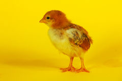 Small baby chicken Stock Photo