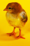 Small baby chicken Royalty Free Stock Images