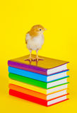 Small baby chicken on a stack of books Royalty Free Stock Photography