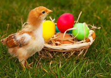 Small baby chickens with colorful Easter eggs Stock Photo
