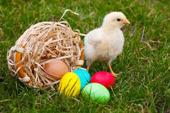 Small baby chickens with colorful Easter eggs Royalty Free Stock Images