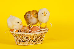 Small baby chickens with colorful Easter eggs Stock Images