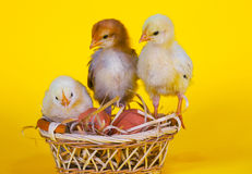 Small baby chickens with Easter eggs Stock Image