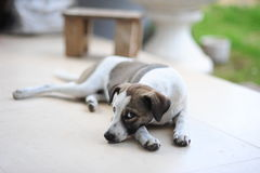 small baby cute dog sit on floor Royalty Free Stock Photo