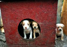 Small baby dogs in the countryside of Romania Royalty Free Stock Images