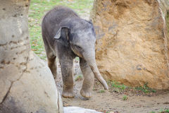 Small baby elephant between rocks Stock Photo