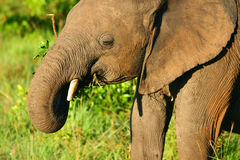 Small baby Elephant in the wild. Africa. Kenya. Masai Mara royalty free stock photography