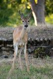 Small baby elk Stock Image