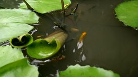 Small baby fish swimming among leaves in a pond stock video