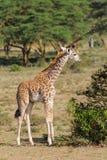 Small baby giraffe. In African savana on dry grass at safari game wild nature in Masai Mara, Amboseli, Samburu, Serengeti and Tsavo national parks of Kenya and stock photo