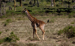 Small baby giraffe. In African savana on dry grass at safari game wild nature in Masai Mara, Amboseli, Samburu, Serengeti and Tsavo national parks of Kenya and royalty free stock images