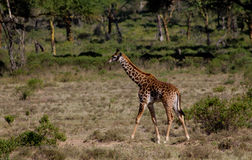 Small baby giraffe royalty free stock images