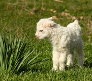 Baby goat kid Stock Photo