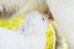 Small baby goat sucks a udder Royalty Free Stock Photos