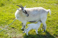 Small baby goat sucks a udder Royalty Free Stock Image