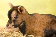 Small baby goat Stock Image