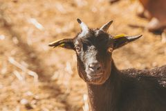 Small baby goats sleeping relaxing together warm in the sun stock photos
