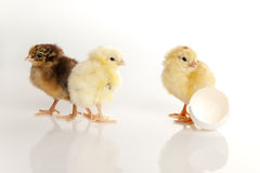 Small baby hens Stock Images