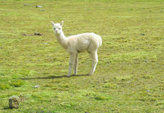 Small baby lama on grass Royalty Free Stock Images