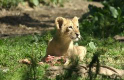 Small baby lion having dinner Royalty Free Stock Photos