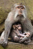 Small baby with mother rhesus macaque monkeys Royalty Free Stock Photos
