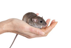 Small baby rat. Very small baby rat on a human hand, isolated Royalty Free Stock Photo