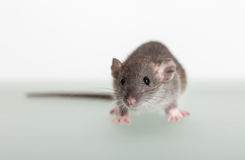 Small baby rat. Very small baby rat on the table Royalty Free Stock Images