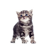 Small baby Scottish british kitten cat Royalty Free Stock Photography