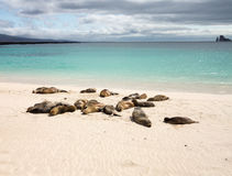 Small baby seal among others on beach Stock Photos