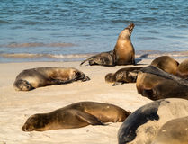 Small baby seal among others on beach Royalty Free Stock Image