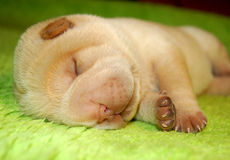 Small baby sharpei sleeping Stock Image