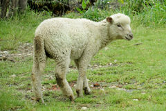 Small baby sheep in the farm land Royalty Free Stock Image
