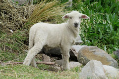 Small baby sheep in the farm land Royalty Free Stock Photography